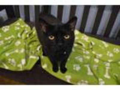 Adopt WINSLOW a All Black Domestic Shorthair / Mixed (short coat) cat in Fruit