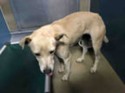 Adopt NALA a Tan/Yellow/Fawn Labrador Retriever / Mixed dog in Carlsbad
