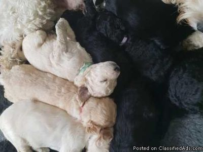 Goldendoodle Puppies Ready To Leave This Sunday.