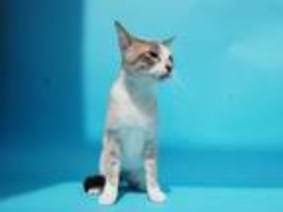 Adopt SNOWBALL a Brown or Chocolate (Mostly) Siamese / Mixed (short coat) cat in