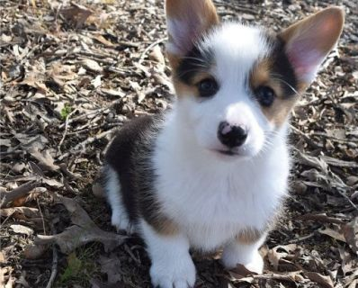 Pembroke corgi puppies AKC registered.