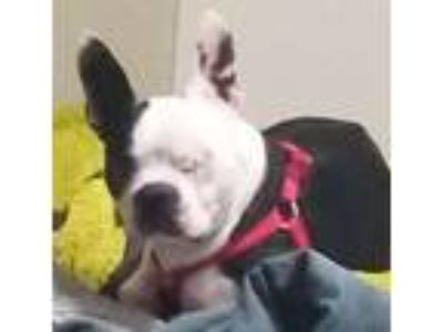Adopt Rosco a Black - with White Boston Terrier / Mixed dog in Irving