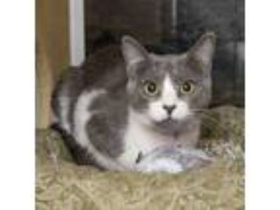 Adopt Fionna a Domestic Short Hair