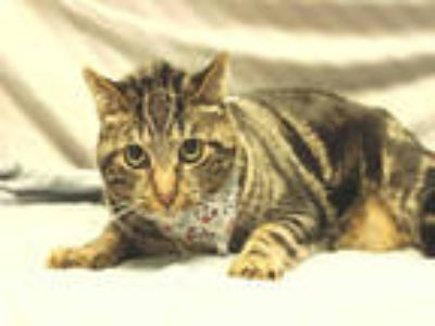 Adopt CURTIS a Brown Tabby Domestic Shorthair / Mixed (short coat) cat in San