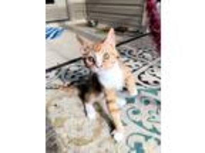 Adopt Jace a Orange or Red Tabby American Shorthair (short coat) cat in