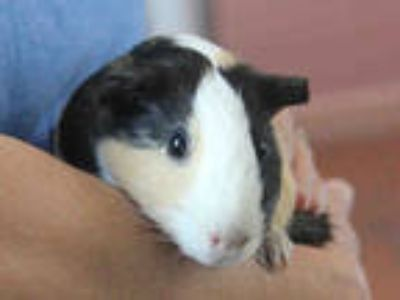 Adopt a Black Guinea Pig / Mixed small animal in San Jose, CA (25307432)