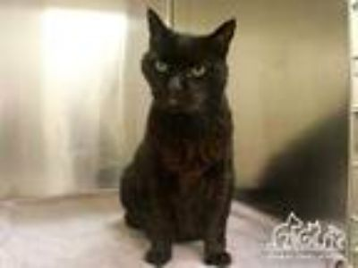 Adopt BOBA a All Black Domestic Mediumhair / Mixed (medium coat) cat in Irvine