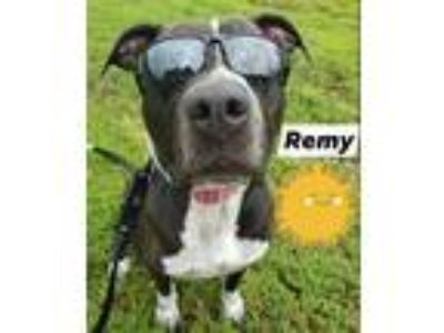 Adopt Remy a Pit Bull Terrier / Mixed Breed (Medium) / Mixed dog in Vineland