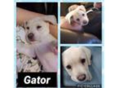 Adopt Gator a Tan/Yellow/Fawn Labrador Retriever / Mixed dog in Ringwood