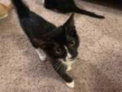 Adopt Gemini a All Black Domestic Shorthair / Domestic Shorthair / Mixed cat in