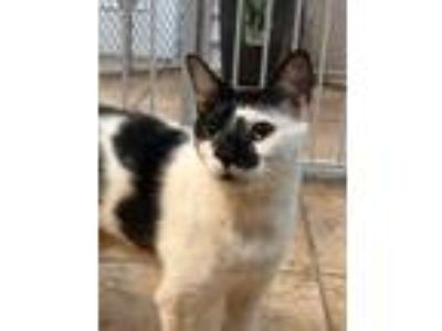 Adopt Moon a All Black Domestic Shorthair / Domestic Shorthair / Mixed cat in