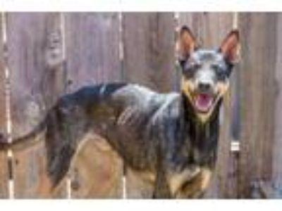 Adopt Vadim a Doberman Pinscher / Shiba Inu / Mixed dog in San Diego