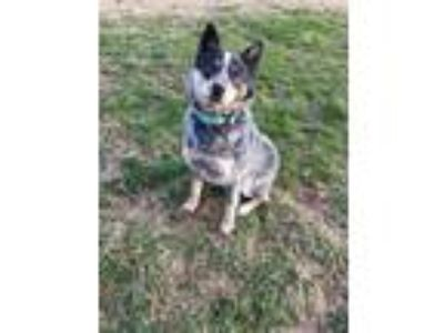 Adopt Dodger a Australian Cattle Dog / Mixed dog in Boston, KY (24564824)