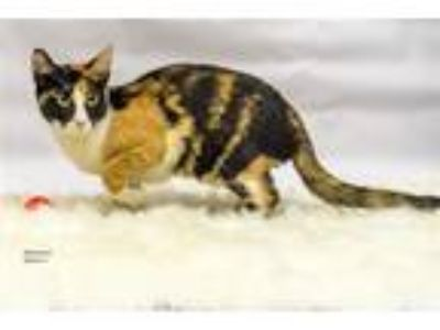 Adopt Ravenna a Domestic Shorthair / Mixed cat in Lake Jackson, TX (22372912)