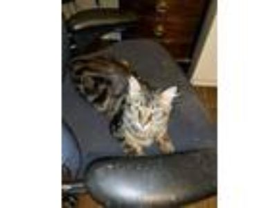 Adopt Collum a Brown Tabby Domestic Longhair / Mixed (long coat) cat in Ft