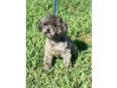 Adopt Flower a Gray/Blue/Silver/Salt & Pepper Poodle (Miniature) / Mixed dog in