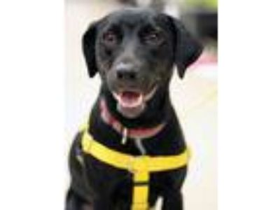 Adopt Kiki - available 5/26 a Black Labrador Retriever, Terrier