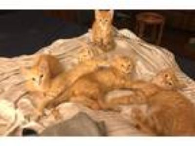 Adopt Kittens a Orange or Red Tabby Domestic Shorthair (short coat) cat in