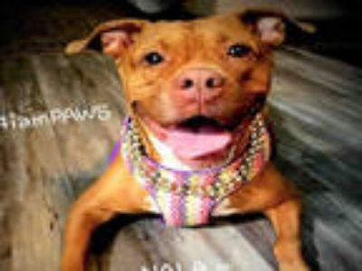 Adopt NALA a Red/Golden/Orange/Chestnut - with White Boxer / Labrador Retriever