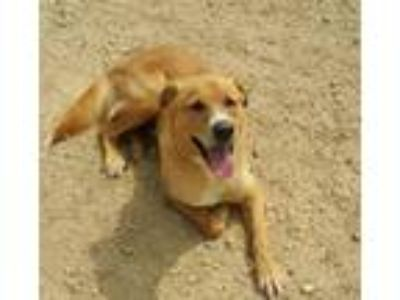 Adopt Romeo a Labrador Retriever / Mixed dog in Maquoketa, IA (23235614)