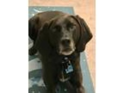Adopt Gus - local boy a Black Labrador Retriever, Coonhound