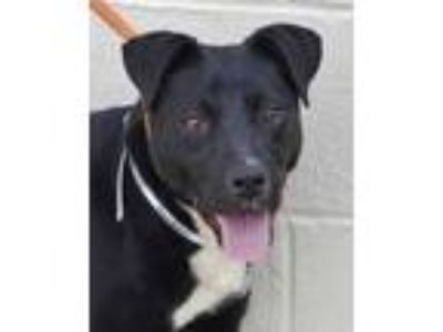 Adopt Rainbow a Black Labrador Retriever / Mixed dog in Wellsville