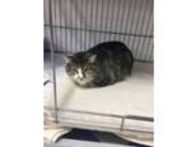 Adopt Ophelia a Domestic Short Hair