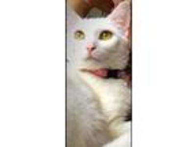 Adopt Daisy a White Domestic Shorthair (short coat) cat in Livonia