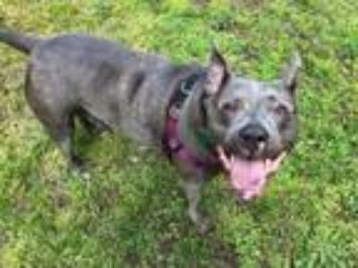Adopt Zoey a Pit Bull Terrier, American Staffordshire Terrier