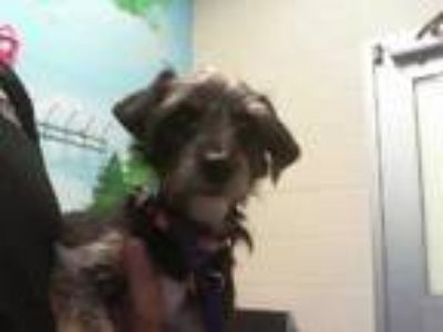 Adopt SASHA a Black - with Tan, Yellow or Fawn Schnauzer (Miniature) / Mixed dog