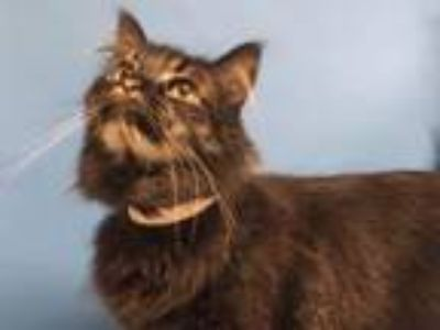 Adopt Beast a Domestic Medium Hair, Domestic Short Hair