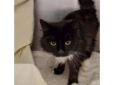 Adopt Paisley a Domestic Long Hair, Domestic Short Hair