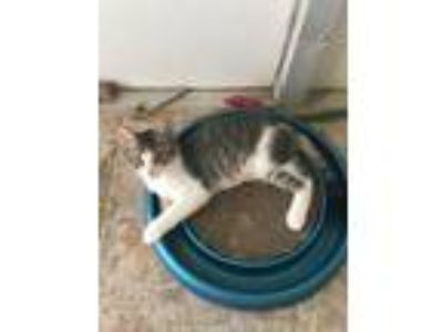 Adopt Candy a Gray or Blue (Mostly) Domestic Shorthair / Mixed (short coat) cat