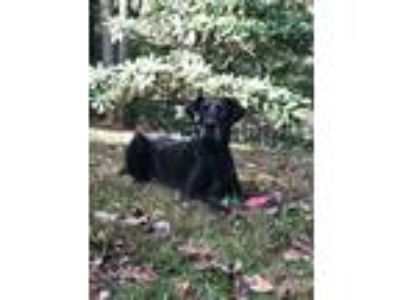 Adopt Moses a Black - with White Great Dane / Mixed dog in Hendersonville