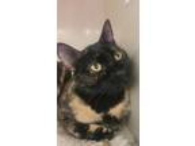 Adopt Spice a Tortoiseshell, Domestic Short Hair