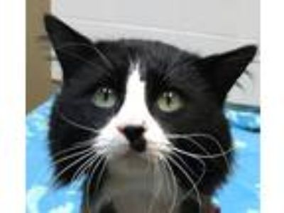 Adopt Sylvester a Black & White or Tuxedo Domestic Longhair (long coat) cat in