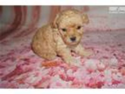 Bazooka Male CKC Toy Poodle So Sweet!