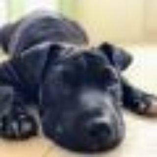 BABY LUNA STAR Shar Pei - Terrier Dog