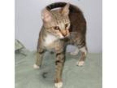 Adopt Gilda a Domestic Shorthair / Mixed cat in Indiana, PA (23724581)