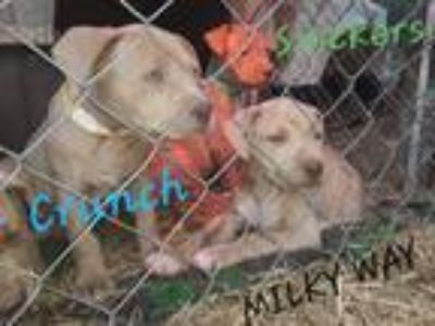 Adopt Milky Way a Tan/Yellow/Fawn Pit Bull Terrier / Mixed dog in Gillsville