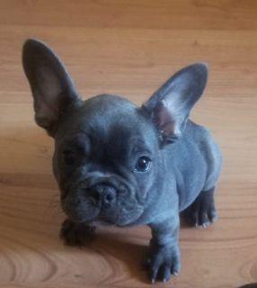 French Bulldog PUPPY FOR SALE ADN-93782 - Blue Girl