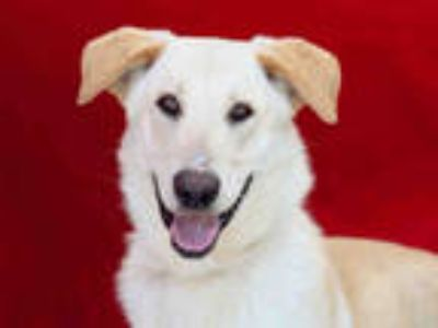 Adopt FLASH a Tan/Yellow/Fawn Labrador Retriever / Mixed dog in Baldwin Park
