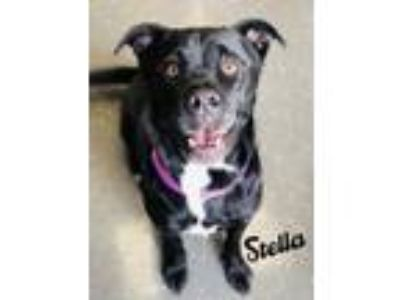 Adopt Stella a Black American Pit Bull Terrier / Mixed dog in Valparaiso