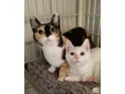 Adopt Rachel & Devon a White Domestic Shorthair (short coat) cat in Newbury