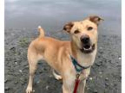 Adopt Nolan a Labrador Retriever / Shepherd (Unknown Type) / Mixed dog in