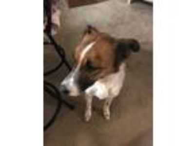 Adopt Xach a Brown/Chocolate - with White Whippet dog in Green Acres