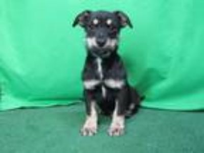 Adopt Elliot a Miniature Pinscher / Mixed dog in San Diego, CA (25581098)