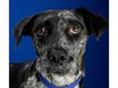 Adopt Skittles a Catahoula Leopard Dog