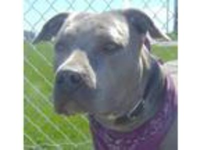 Adopt Atlantis-Cougar Canine a Pit Bull Terrier, Mixed Breed