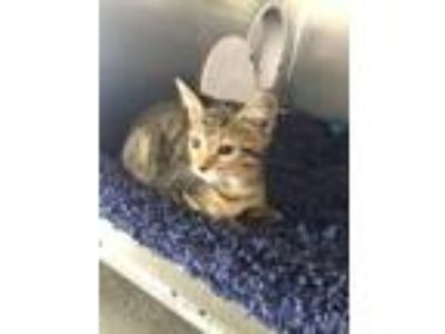 Adopt Electra a Domestic Shorthair / Mixed (short coat) cat in Fort Myers